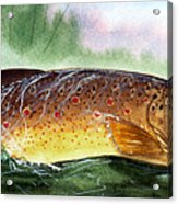 Brown Trout Taking A Fly Acrylic Print