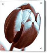 Brown Tulip Acrylic Print