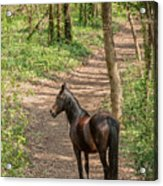 Brown Wild Horse Acrylic Print