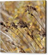 Brown Wildgrass Acrylic Print