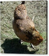 Brownie The Hen Acrylic Print
