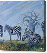 Browsing Zebras Acrylic Print