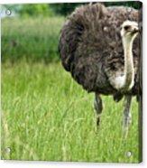Browsing Ostrich Acrylic Print