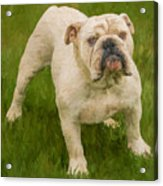Bruce The Bulldog Acrylic Print