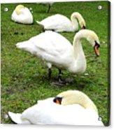 Bruges Swans 2 Acrylic Print