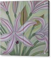 Brunsvigia Grandiflora Acrylic Print