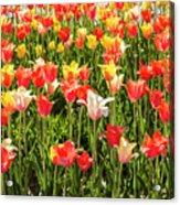 Brushed Tulips Acrylic Print