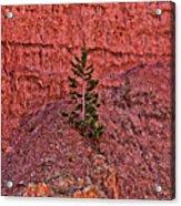 Bryce Canyon Pine Tree Acrylic Print