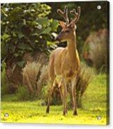 Buck Acrylic Print
