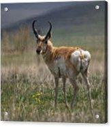 Buck Antelope  Acrylic Print