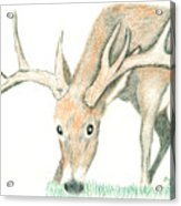 Buck Feeding Acrylic Print