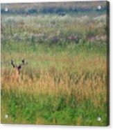 Buck In Field Acrylic Print