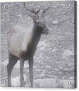 Buck In Fog On Hurricane Ridge - Olympic National Forest - Olympic National Park Wa Acrylic Print