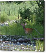 Buck In Pond Acrylic Print