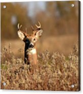 Buck In The Weeds Acrylic Print