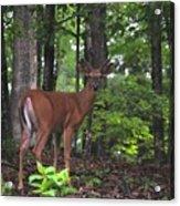 Buck In Velvet Acrylic Print
