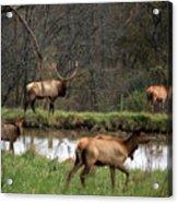 Buck In Wilderness Acrylic Print