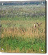 Buck Running In Field Acrylic Print