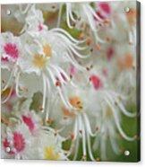 Ohio Buckeye Blooms Acrylic Print