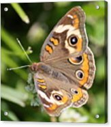 Buckeye Butterfly Square Acrylic Print