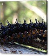 Buckeye Caterpillar Acrylic Print