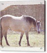 Buckskin Horse  Acrylic Print