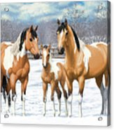 Buckskin Paint Horses In Winter Pasture Acrylic Print by Crista Forest