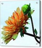 Bud And Blossom Acrylic Print
