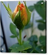 Bud Of A Rose Acrylic Print