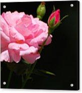 Bud of rose Acrylic Print