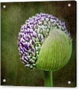 Budding Allium Acrylic Print
