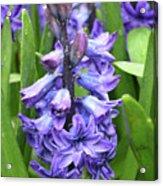 Budding And Flowering Purple Hyacinth Flower Acrylic Print