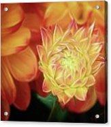 Budding Dahlia Acrylic Print