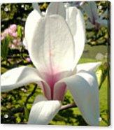 Budding Magnolia Acrylic Print