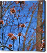Budding Maples Acrylic Print