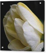 Budding Narcissus Acrylic Print