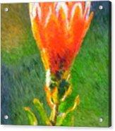 Budding Protea Acrylic Print
