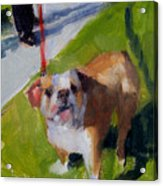 Buddy On A Red Leash Acrylic Print