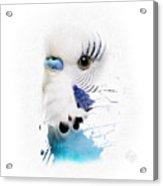 Budgie No 03 Acrylic Print