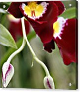 Buds And Blooms Orchid Acrylic Print