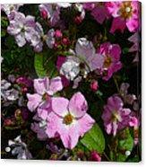 Buds And Petals- Pink Roses- Rose Bush- Floral Art Acrylic Print