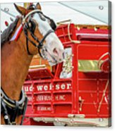 Budweiser Clydesdale In Full Dress Acrylic Print