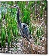 Bue Heron Acrylic Print