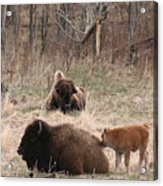 Buffalo And Calf Acrylic Print