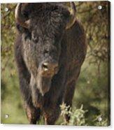 Buffalo Bull II Acrylic Print