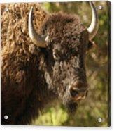 Buffalo Cow Acrylic Print