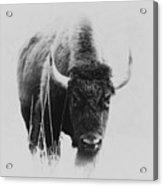 Buffalo Gal Acrylic Print