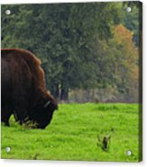 Buffalo In Spring Grass Acrylic Print