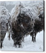 Buffalo In The Blowing Snow Acrylic Print