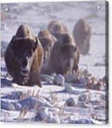 Buffalo In The Fog-signed-##6995 Acrylic Print